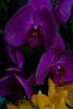 7067 Purple Yellow Orchid