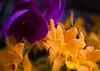7068 Purple and Yellow