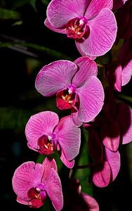 March 24, 2018- Bronx, NY    The NYBG (new York Botanical Garden) Orchid Show 2018  Photographer- Robert Altman Post-production- Robert Altman