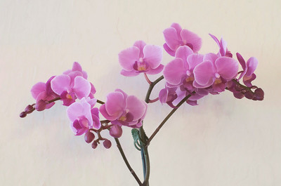 One of Eivor's newest orchids