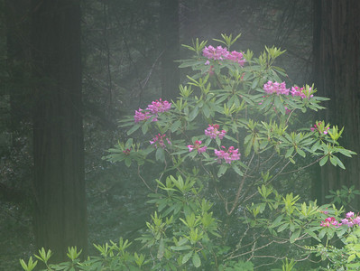 Rhodedendrons in the Fog