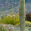 Saguaro Cacti and Cholla