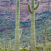 Saguaro Cacti, Ajo Mountain Loop