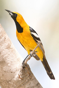 Hooded Oriole Bird & Butterfly Garden
