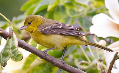 Orchard Oriole, Female, Del Mar, October 2011