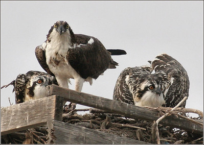 Mother and chicks fledgers