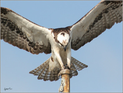 Male Osprey landing, to keep watch over nest.