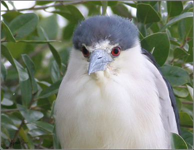 Near the Osprey nest, Black Crowned Night Heron, young.
