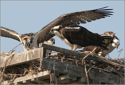 Adult telling the fledge not to fly, as humans are around! Mom in the background really grumpy.;~)