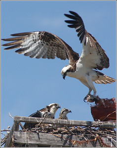 "He caught his foot on nest pile. I love the way they are looking at him, like ""what the heck are you doing?"" lol"
