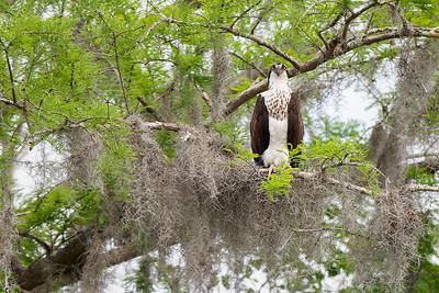 #1163 Osprey