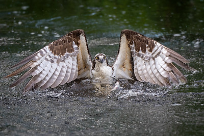 #1200 Osprey