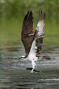 #993 Osprey