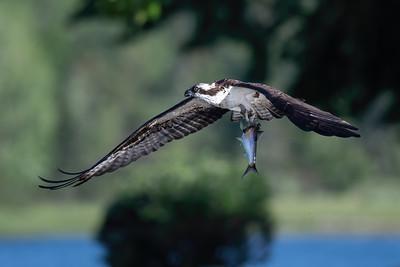 #1428 Osprey