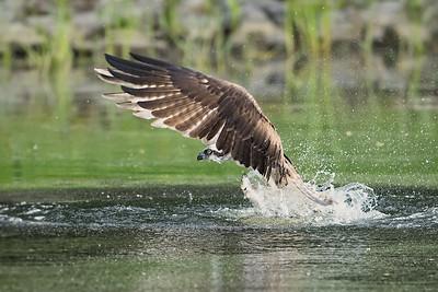 #978 Osprey