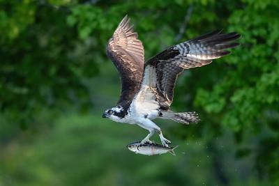 #1619 Osprey