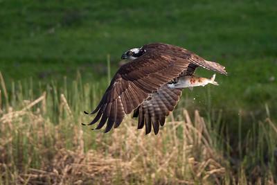 #1616 Osprey