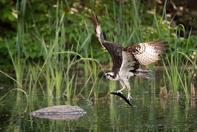 #1189 Osprey with Fish