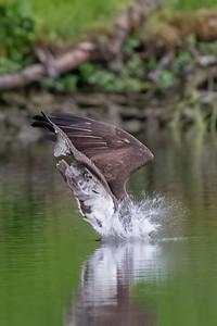 #1623 Osprey at Impact
