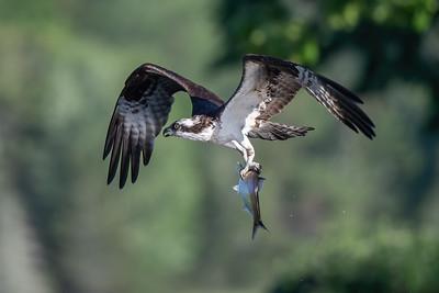 #1429 Osprey