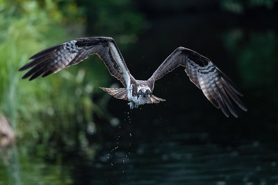 #1667 Osprey