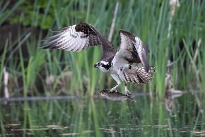 #1618 Osprey