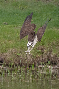 #1637 Osprey Dive