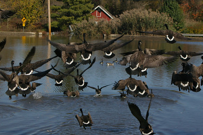 Geese landing on a pond.