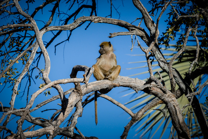 Baby Baboon , Out on a Limb.