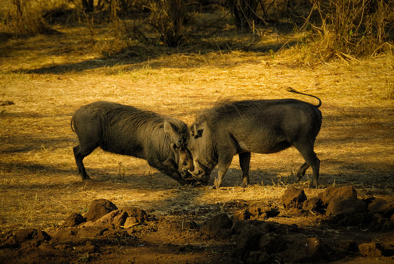 Fighting Warthogs