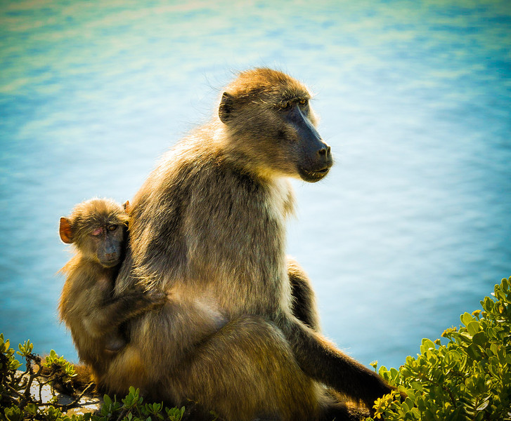 Mother Baboon carrying One-Eyed Baby