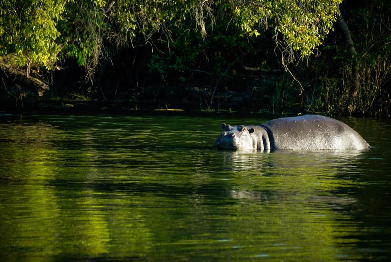 Hippopotamus (Zambezi River)