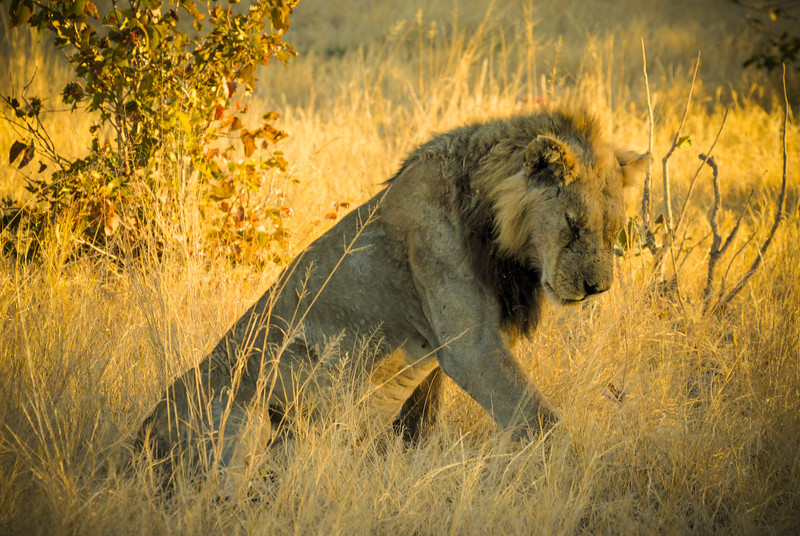 Scarred, Male African Lion