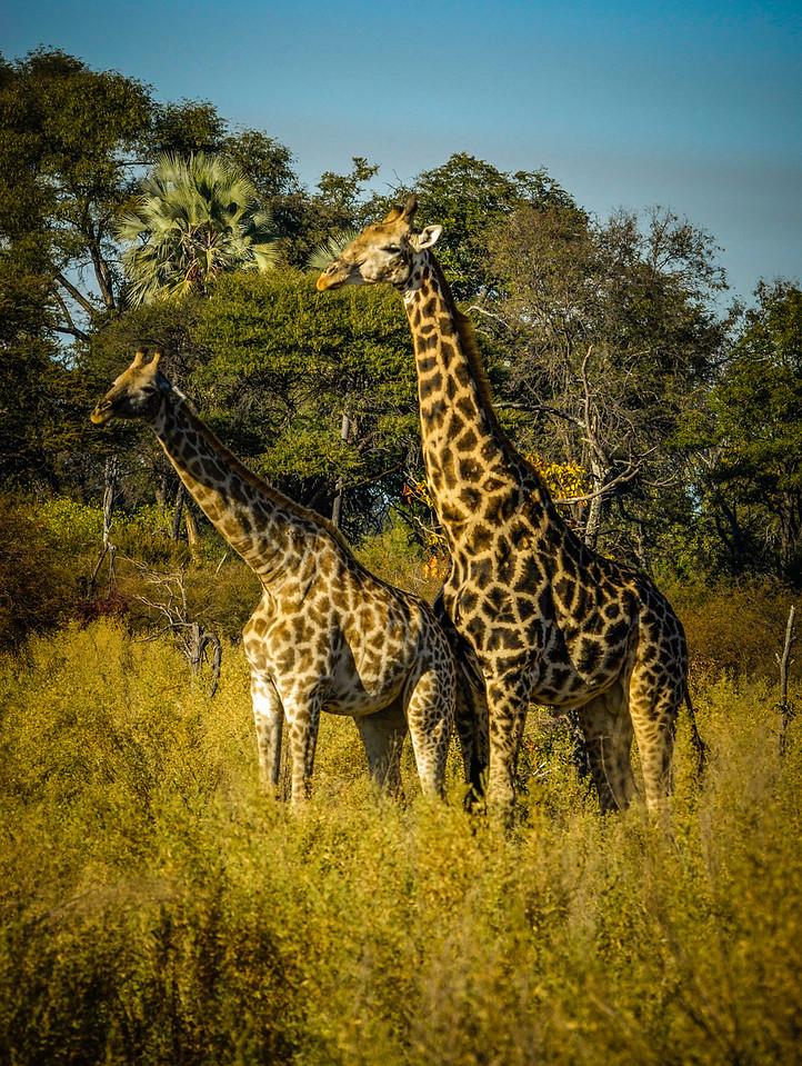 Giraff Mating Ritual