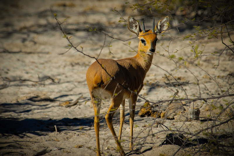 Adult Male Steenbok