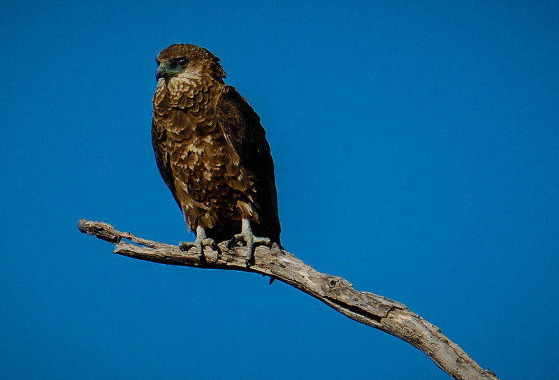 Brown Snake Eagle (Immature)