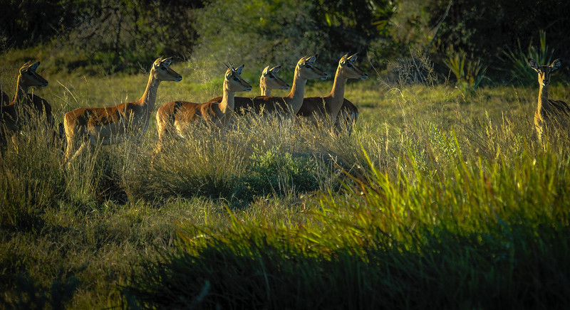 Spooked Antelopes (Defensive Posturing)