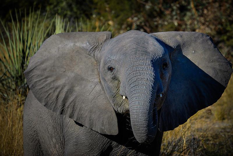 Baby Elephant in Defensive Posture