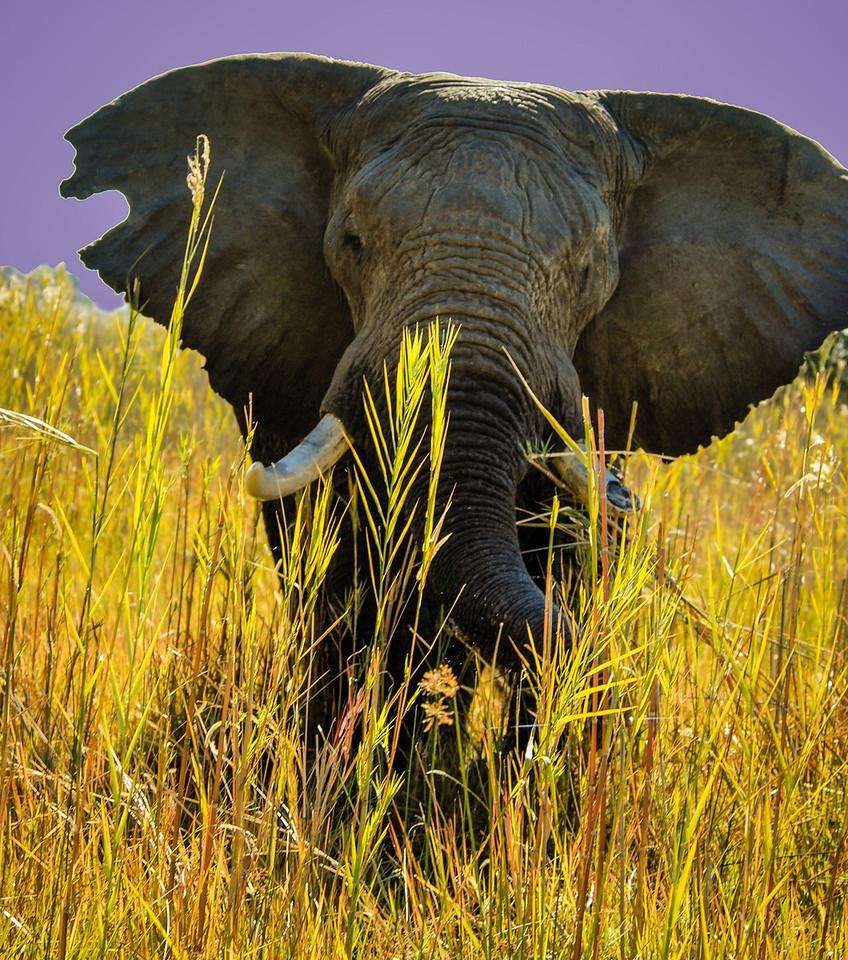 Charging Bull Elephant