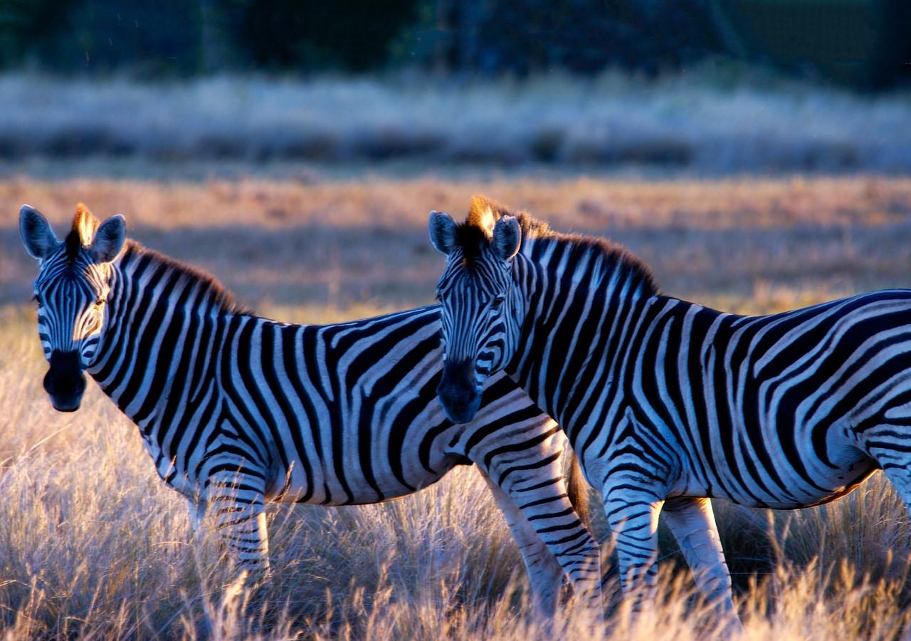 Twin Zebras
