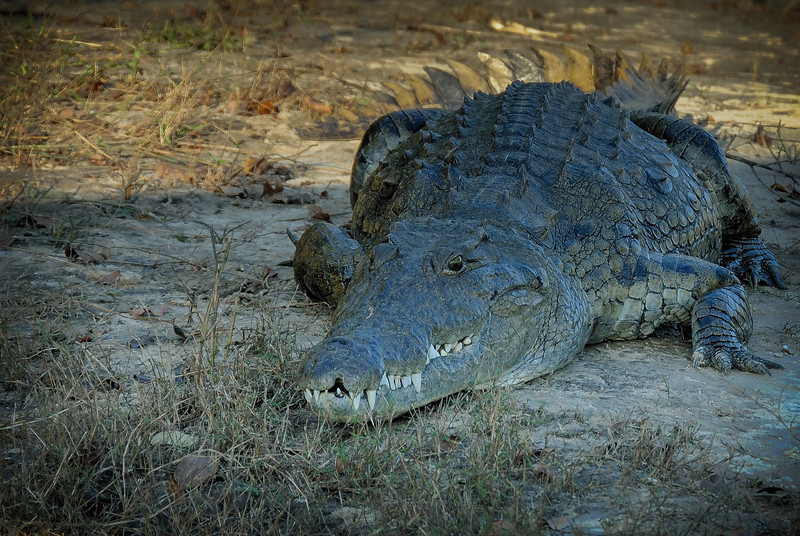 Zambezi River Crocodile