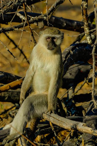 Cool Dude (Vervet Monkey)