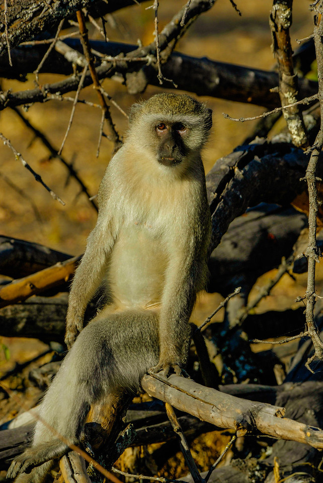 Cool Dude (Vervet Monkey)