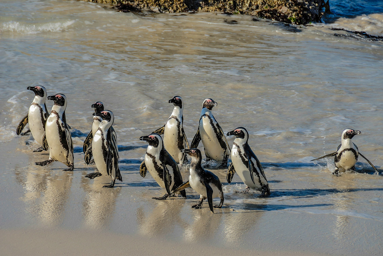 March of the African Penguins