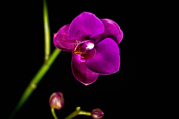Blooming orchid -3956