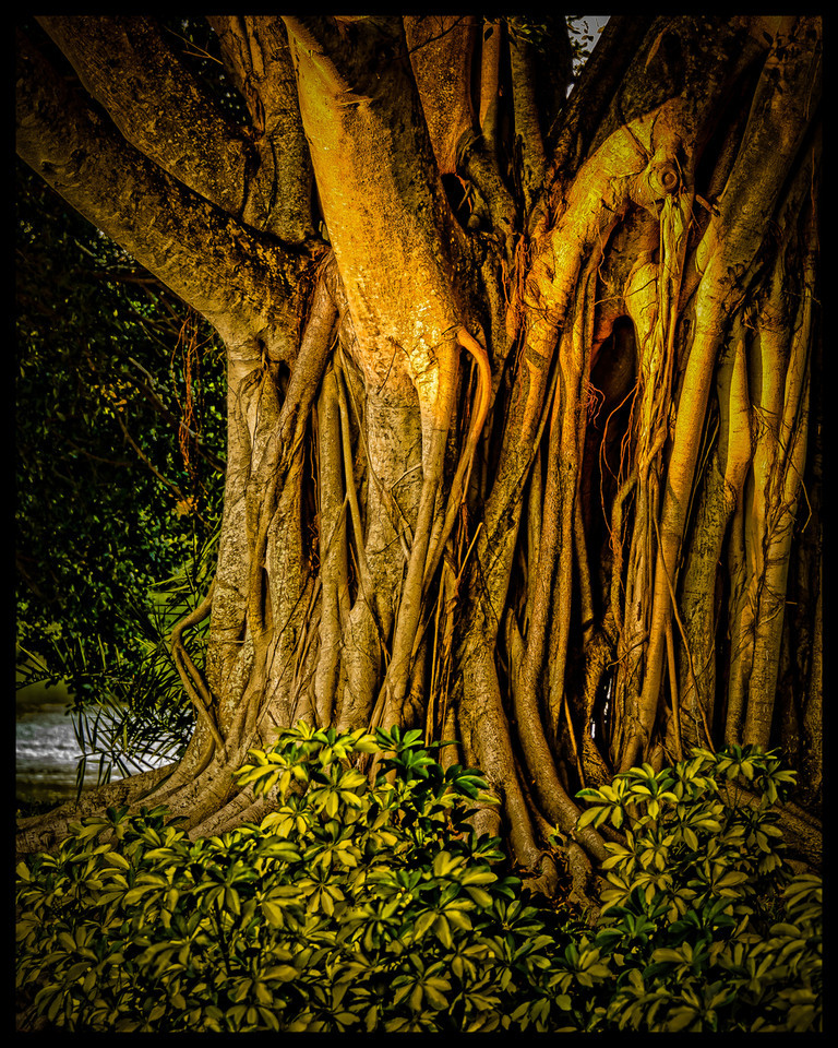 Sunset on Ficus Roots
