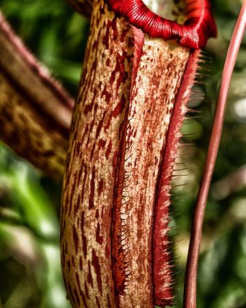 CARNIVORUS PITCHER PLANT (up close)