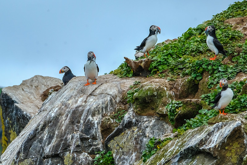 THE PUFFINS OF GRIMSEY