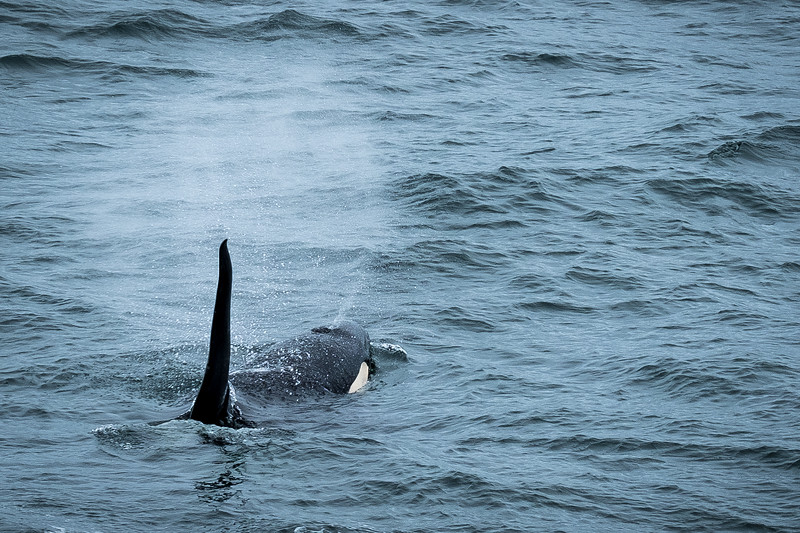 ADULT ORCA BREATHING