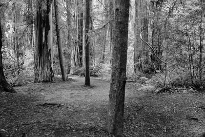 forest path (b/w)